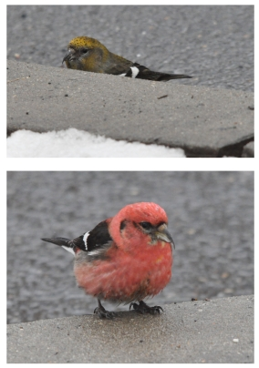 Crossbills.001.jpeg